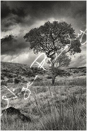 A moorland tree