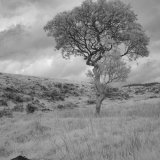 A moorland tree