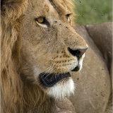 Lone male Lion