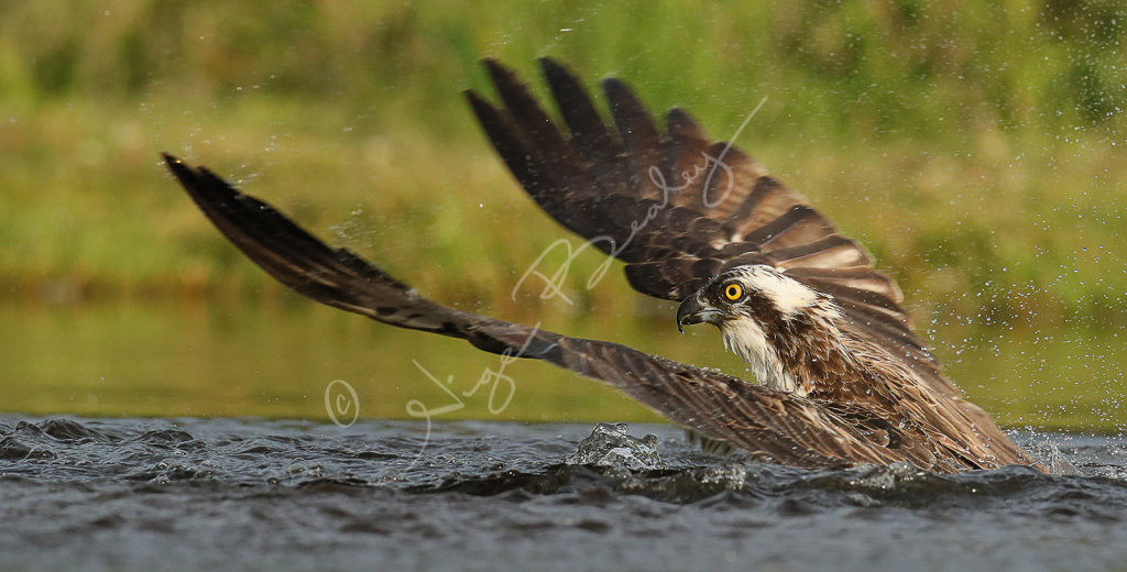 Osprey on water