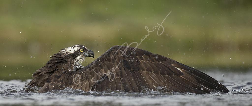 Osprey on water 2