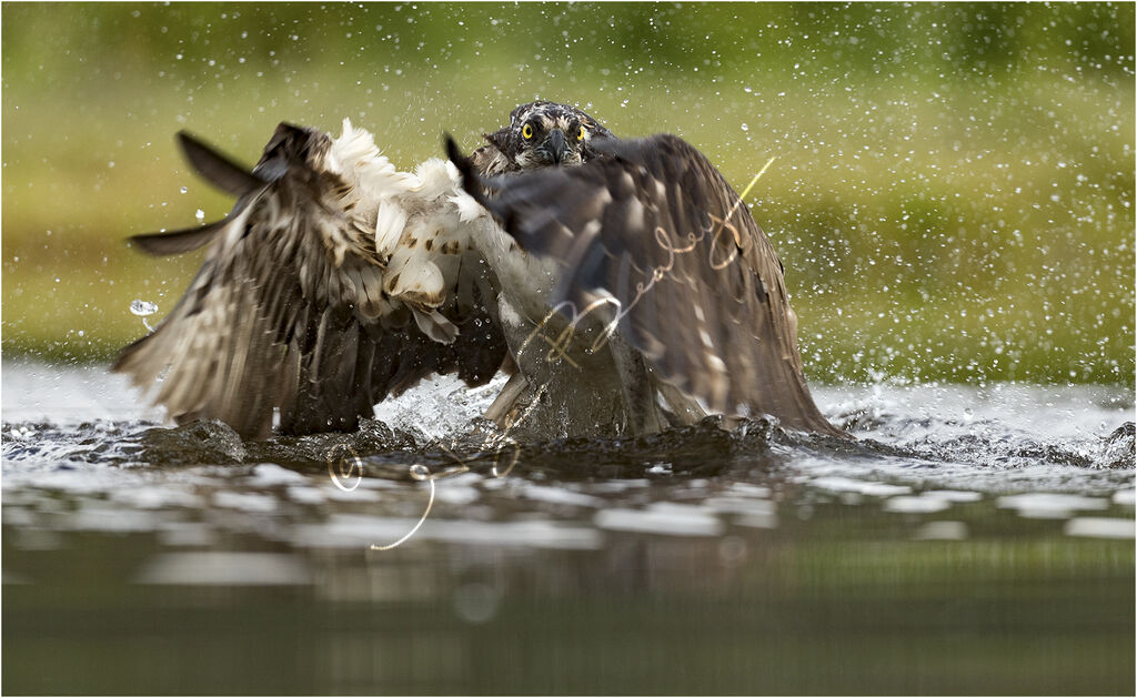 Osprey Lifting off Water