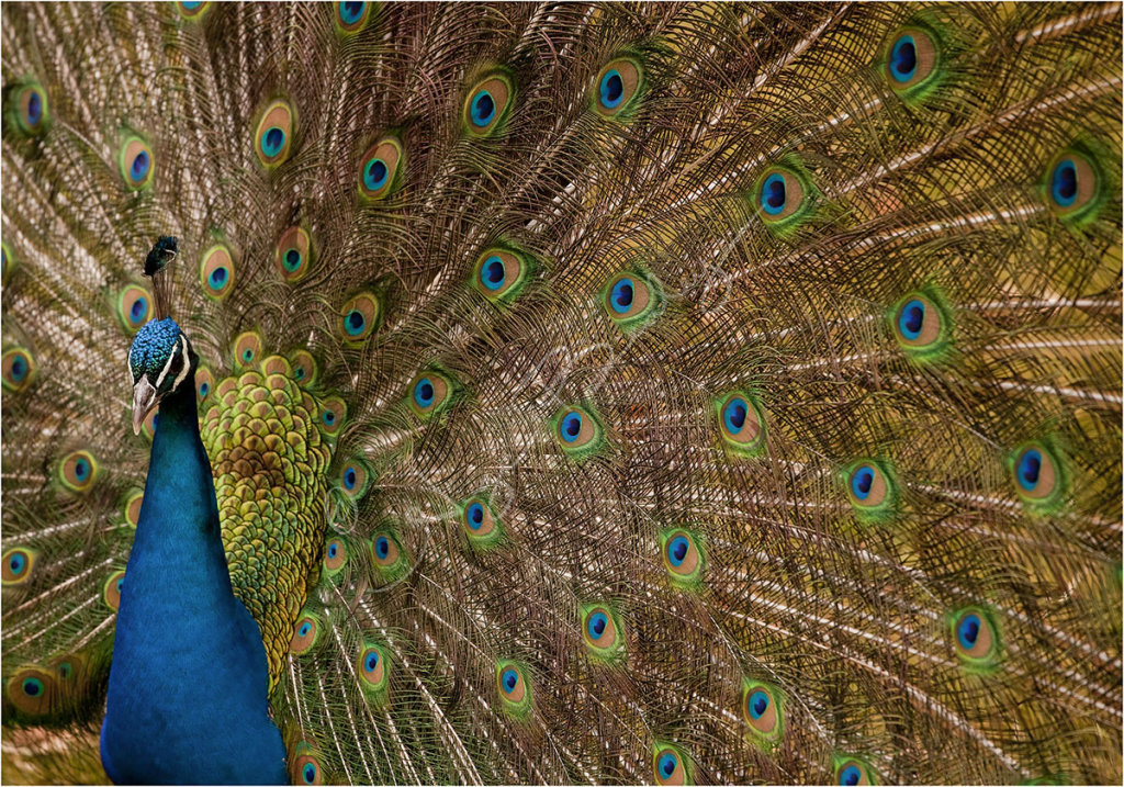 Peacock displaying.