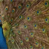 Peacock displaying.