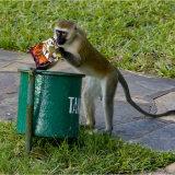 Vervet Monkey, found something nice