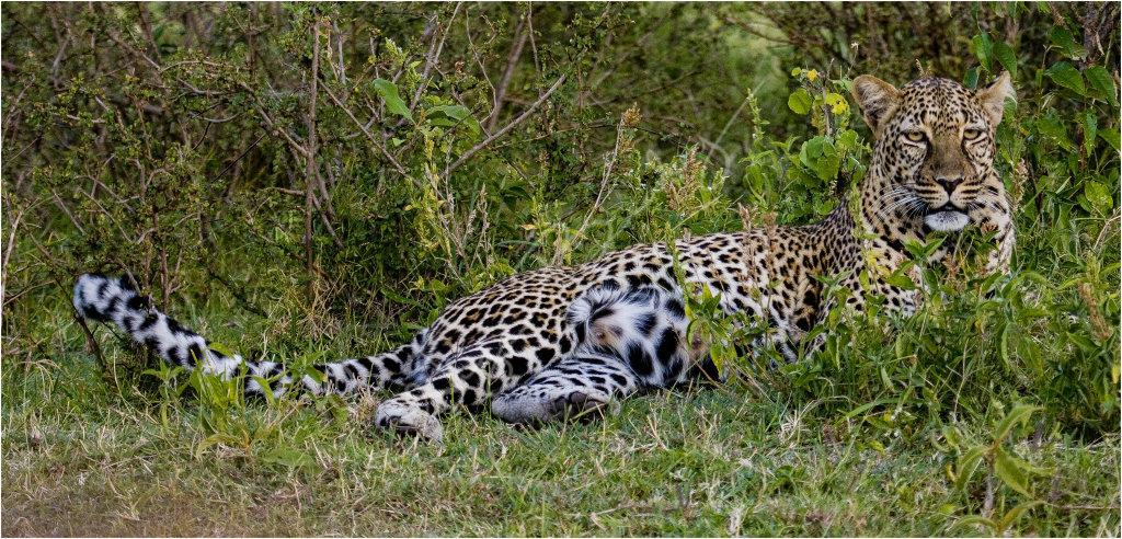 Leopard taking it easy