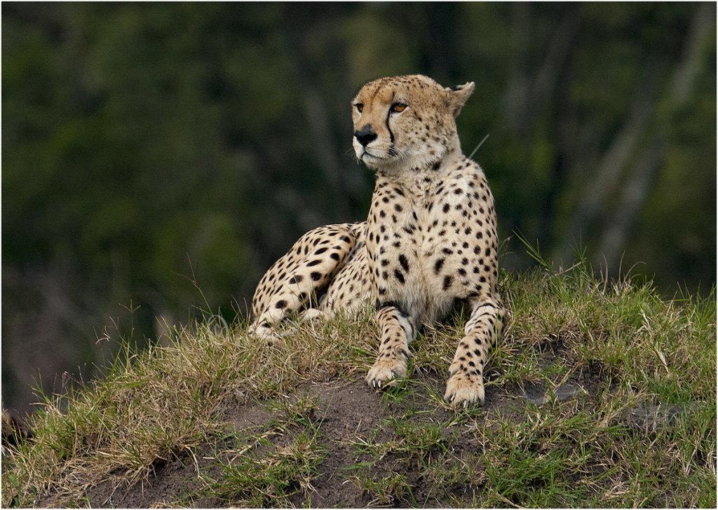 Wild Cheetah on termite mound