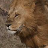 Male Lion on a windy morning