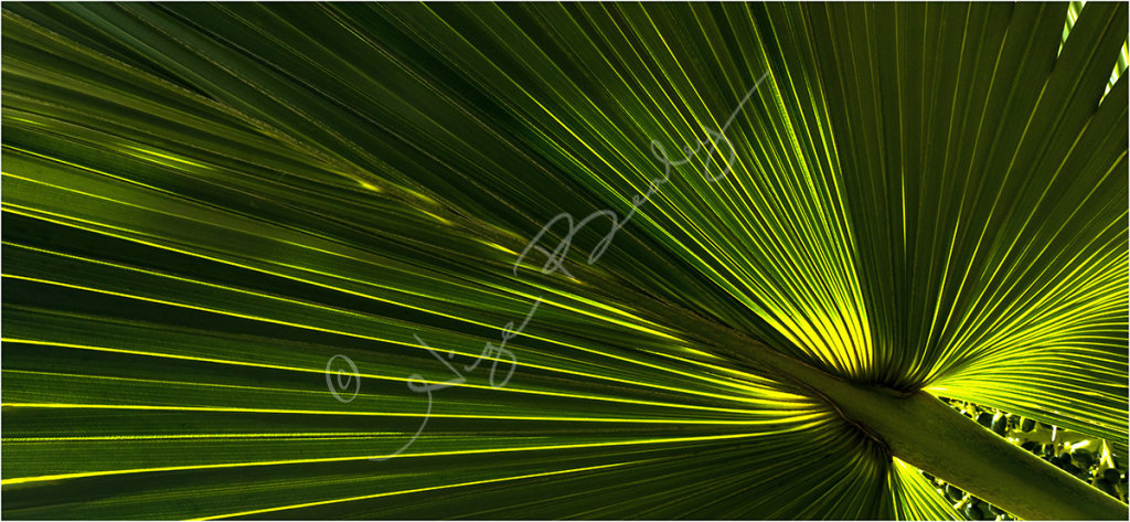 Back lit Palm Leaf