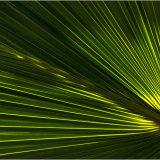 Back lit Palm Leaf