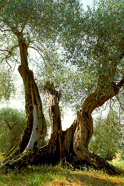 Heart of the Olive