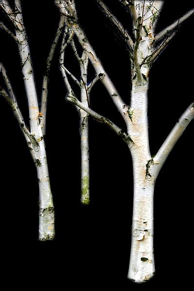 Birch Glow