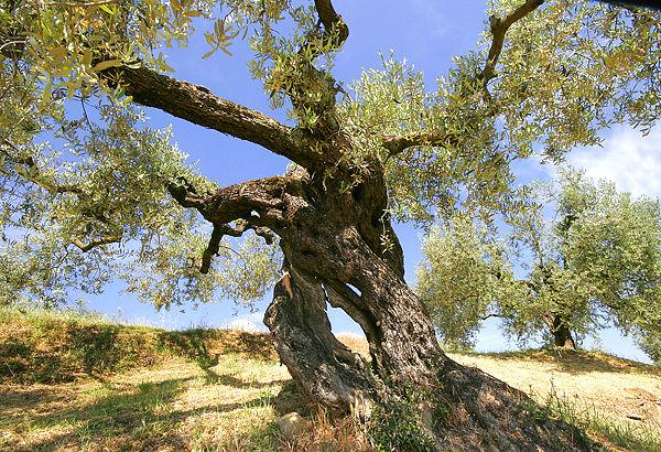 Migliano Olive