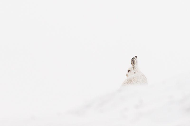 Mountain Hare in Fog