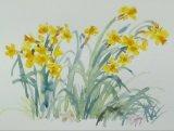'Garden daffodils'
