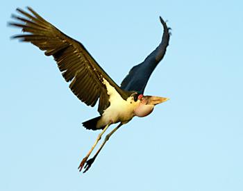 Marabou Stork-