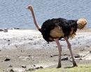Ostrich Masia
