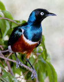 Brilliant Starling
