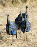 Vulturine guinea-fowl