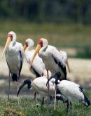 30 Yellow -billed stork & Sacred Ibis-2012