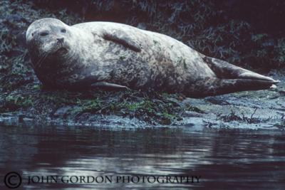 7 Harbour Seal web