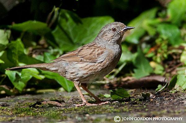 Hedge sparrow-Dunnock