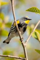 Yellow-rumped (Audubon) Warbler