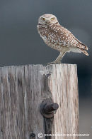 Burrowing owl-