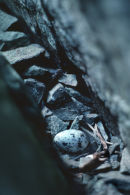 Pigeon Guillemot nest