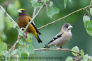 Evening grosbeak M/F