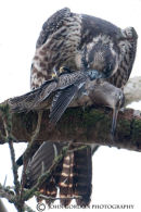 Peregrine Falcon with dowitcher