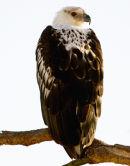 Fish Eagle Immature