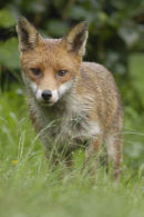 Fox Wye Valley