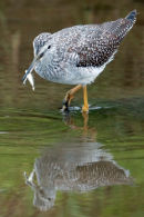 Greater yellowlegs w/stickleback