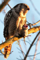Northern hawk-owl with prey