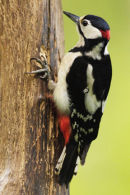 Greater Spotted Woodpecker Brockweir Wye Valley Gwent