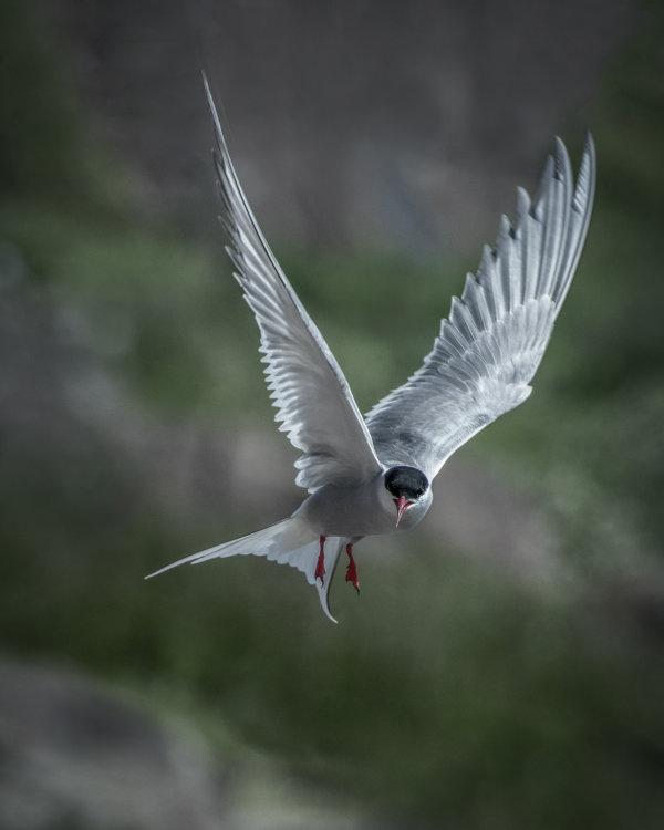 Arctic Tern, Isle of May