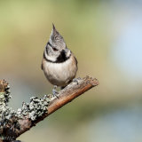 Crested Tit, 1