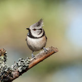 Crested Tit, 2