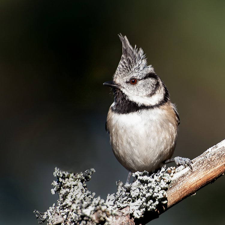 Crested Tit, 3