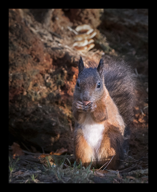 Red Squirrel, Tentsmuir, Fife