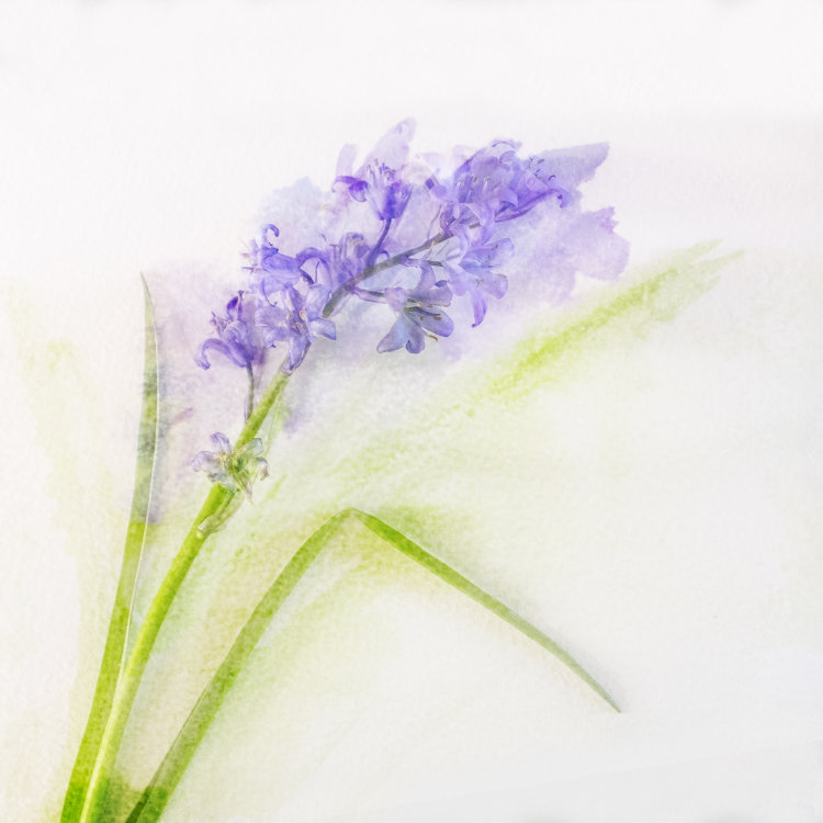 Watercolour, Bluebell