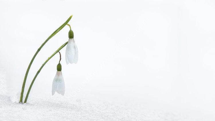 snowy snowdrops