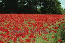 Field of Scarlet Poppies