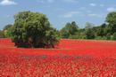 Tree island in field of poppies