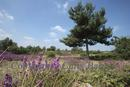 View of flowering heather in the New Forest