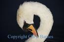 swan preening neck on black background