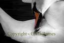 Swan preening its back