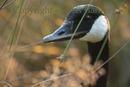 portrait of a curious canadian goose