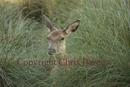 Young red deer at the limit of its tolerance hides in the long grass